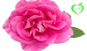 گل سرخ کاشان