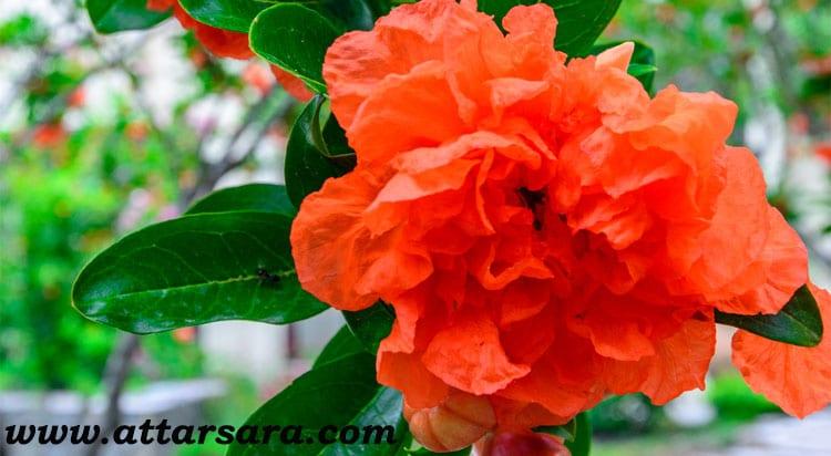 گیاه دارویی گلنار فارسی