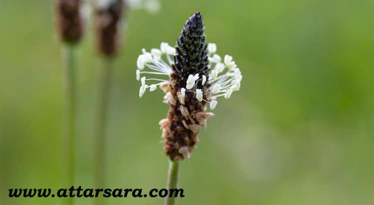 گیاه دارویی بارهنگ