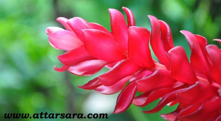 گل زنجبیل