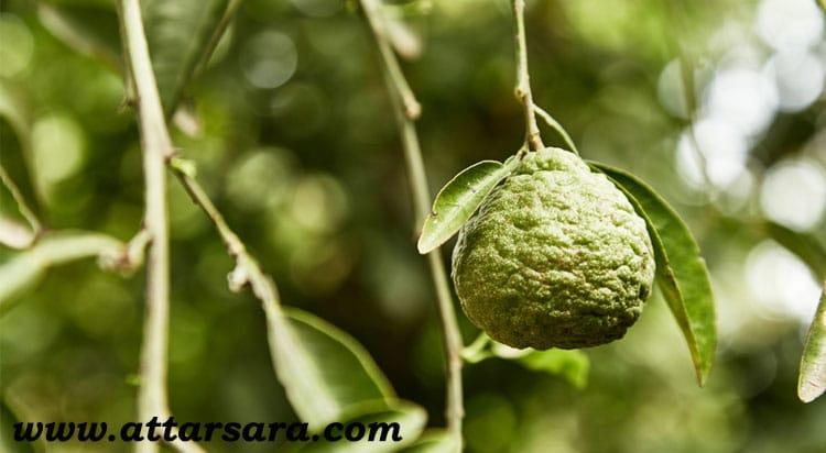 میوه اترج
