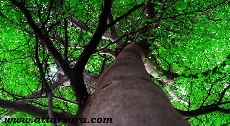 درخت دارچین