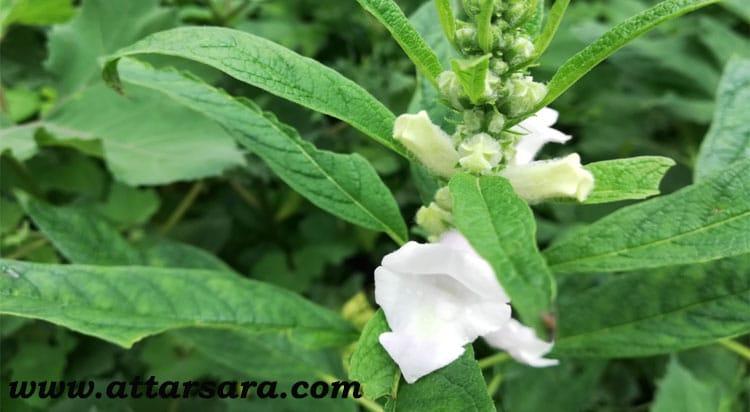 گیاه کنجد سفید
