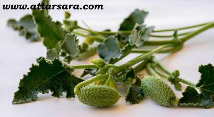 گیاه هندوانه ابوجهل