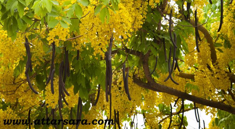 درخت خرنوب هندی