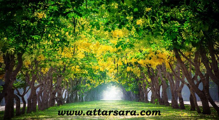 درخت فلوس