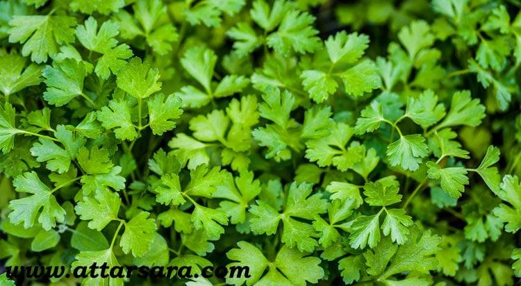 گیاهان دارویی ضد سرطان