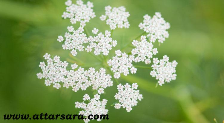 گل زیره سبز