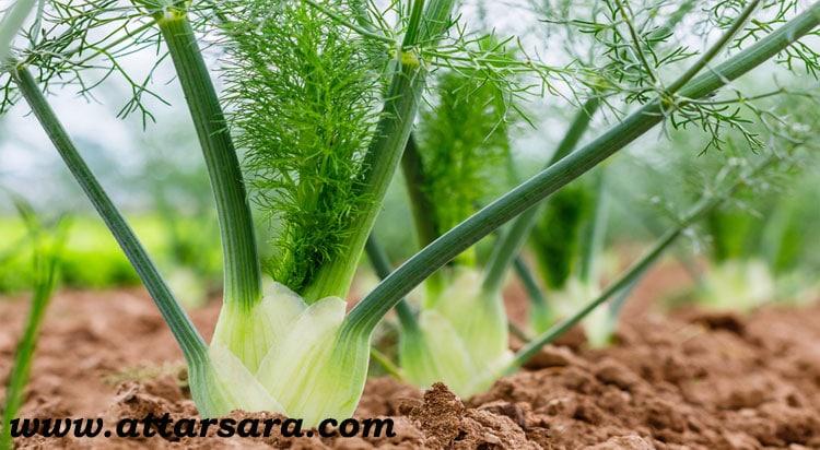 گیاه رازیانه