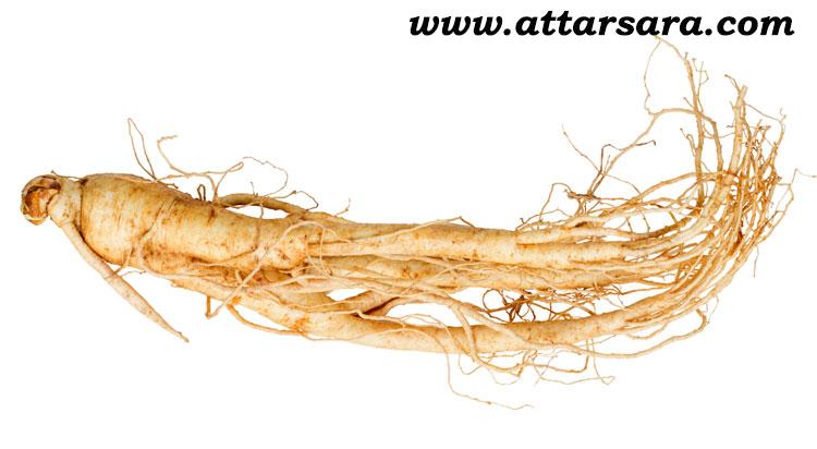 گیاه ریشه جینسینگ